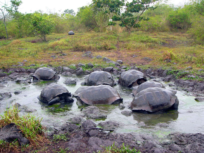 Santa Cruz Highlands Tortoises (Galapagos)