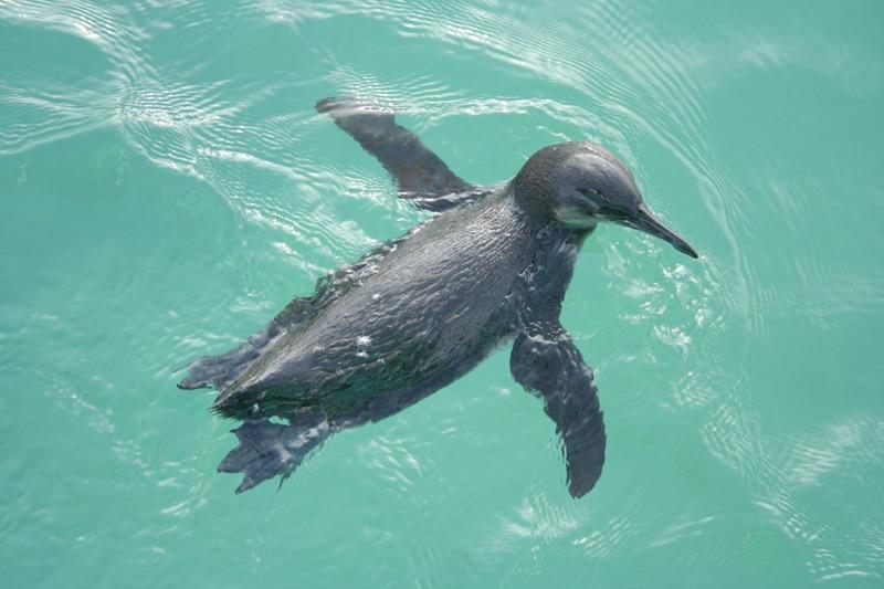 Galapagos Penguin near Tintoreras (Isabela Island, Galapagos)