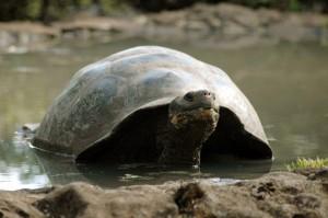Giant Tortoise, Santa Cruz Highlands (Galapagos)