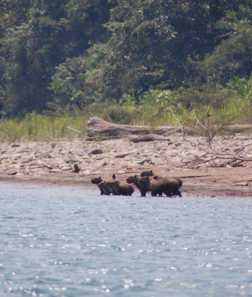 p-5847-capybara.jpg