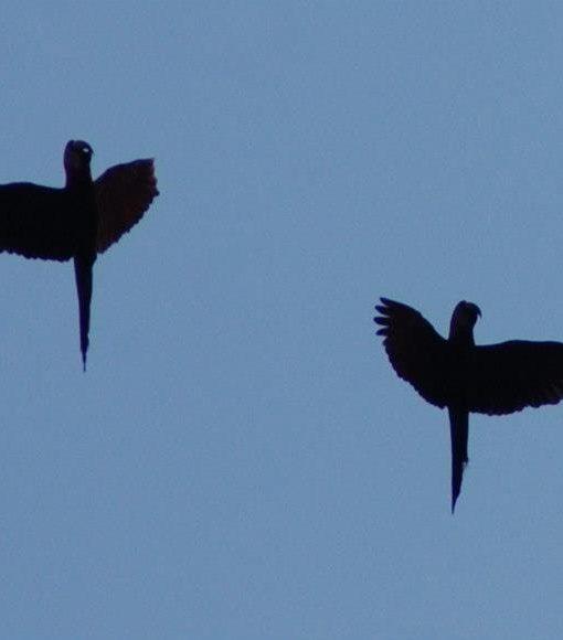 p-5847-macaws.jpg