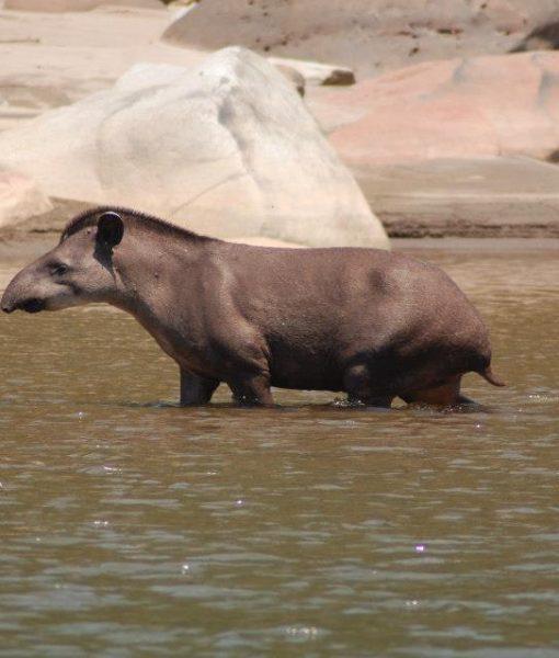 p-5847-tapir2.jpg