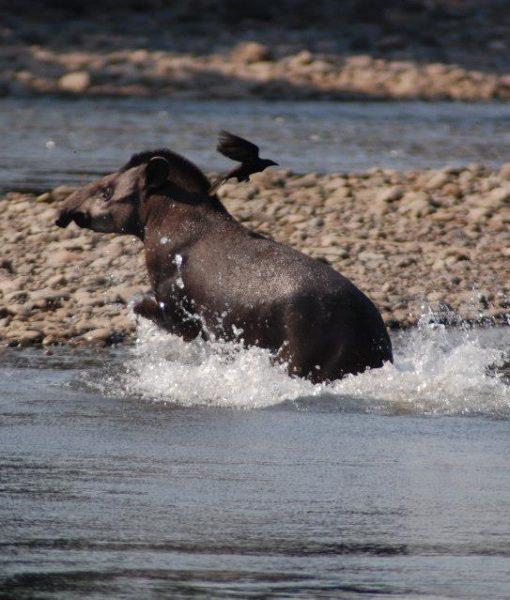 p-5847-tapir3.jpg