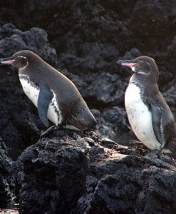 p-8500-gps45_penguin_couple_1.jpg
