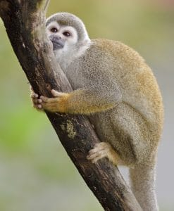 p-8715-amazon_mammal_-_squirrel_monkey_-_01.jpg