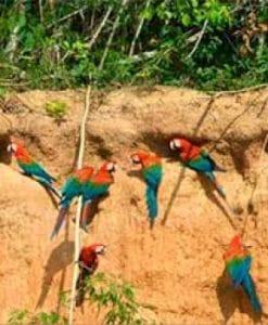 Heath-macaws