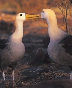 p-11306-albatross_1.jpg