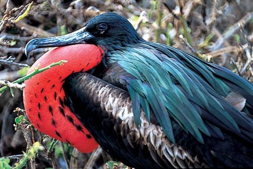 Magnificent Frigatebird on North Seymour EV