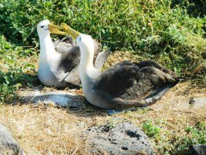 Waved Albatross on Española Island