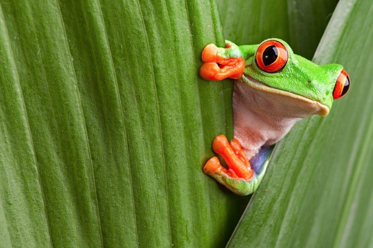 CostaRica-frog