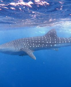 p-18359-whale-shark_1.jpg