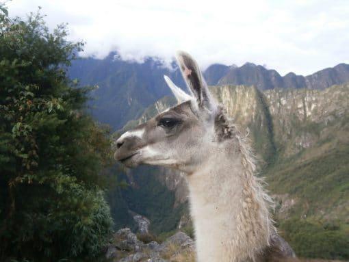 Llamas in Peru