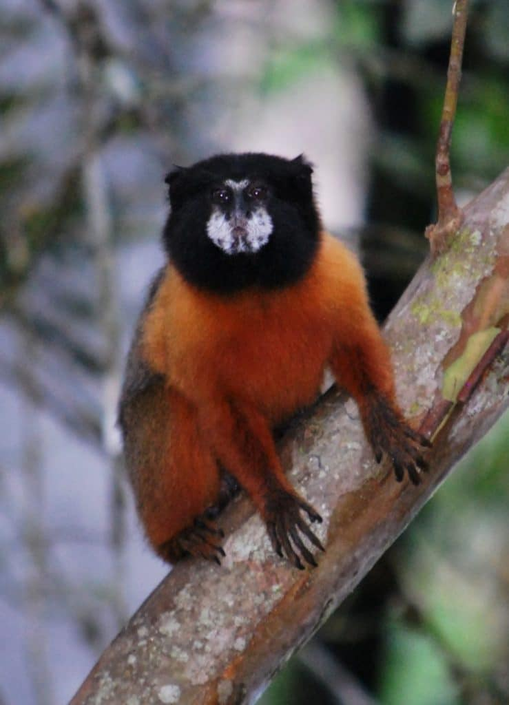 Golden-Mantled Tamarin spotted at the Napo Wildlife Center in Ecuador