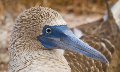 Blue-Footed Boobie spotted on an Odyssey Galapagos Cruise