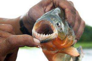 Piranha teeth, Amazon