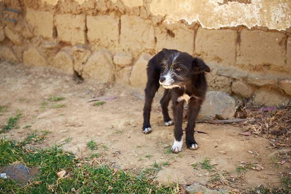 Peruvian-dog