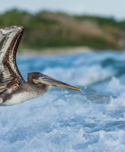 Pelican-Galapagos